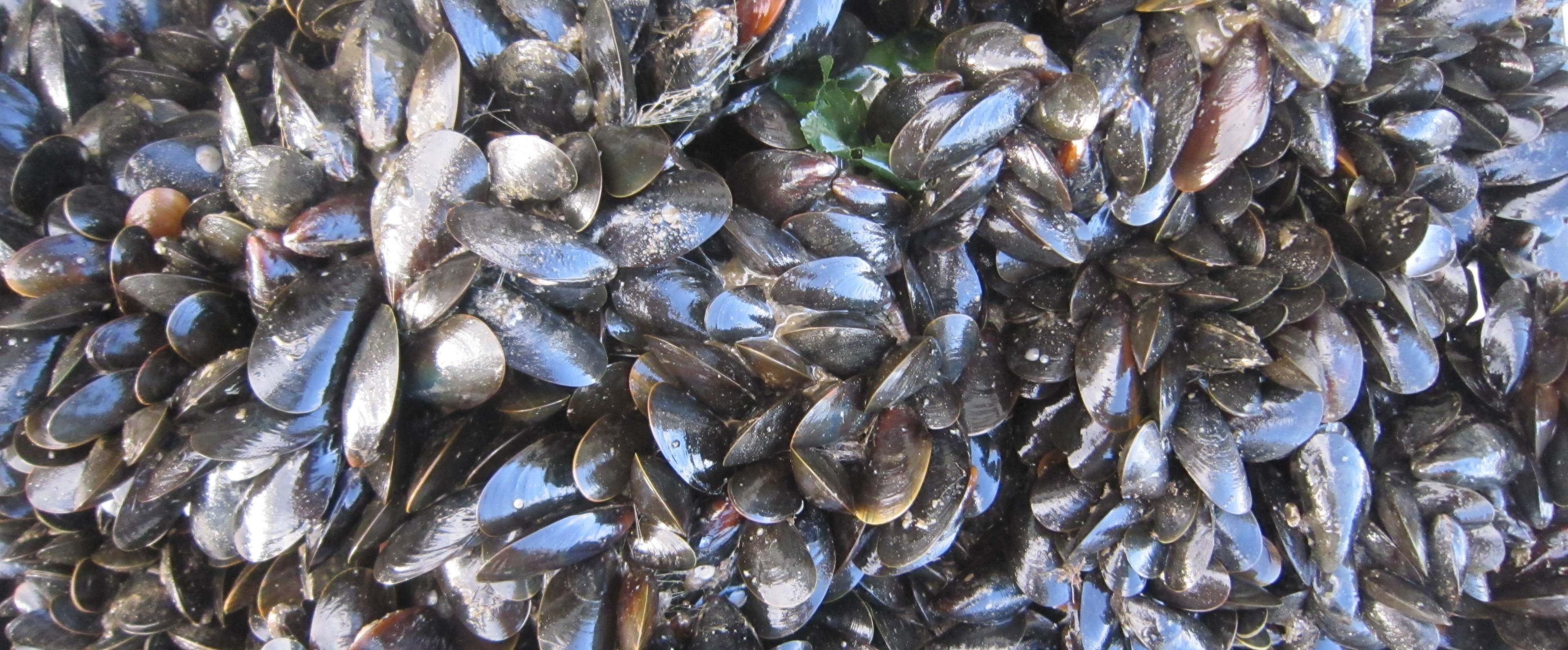 Mussels-NH Sea Grant